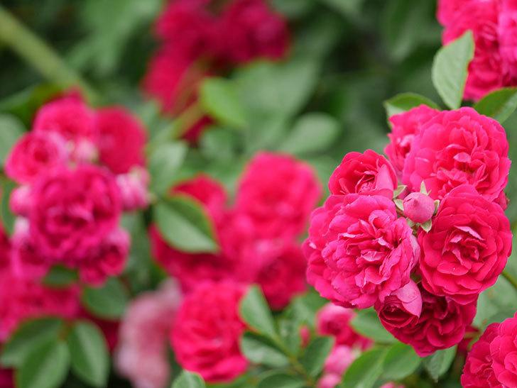 キングローズ(King Rose)の花がたくさん咲いた。ツルバラ。2021年-087.jpg