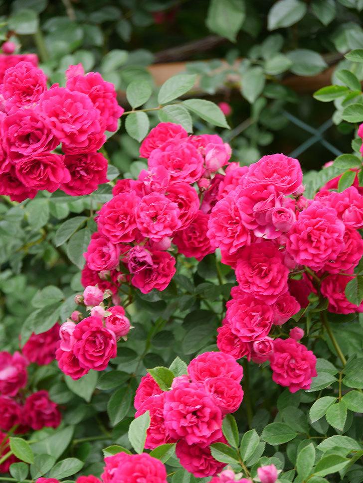 キングローズ(King Rose)の花がたくさん咲いた。ツルバラ。2021年-089.jpg