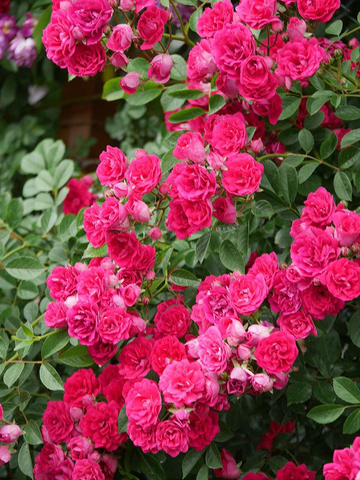 キングローズ(King Rose)の花がたくさん咲いた。ツルバラ。2021年-090.jpg