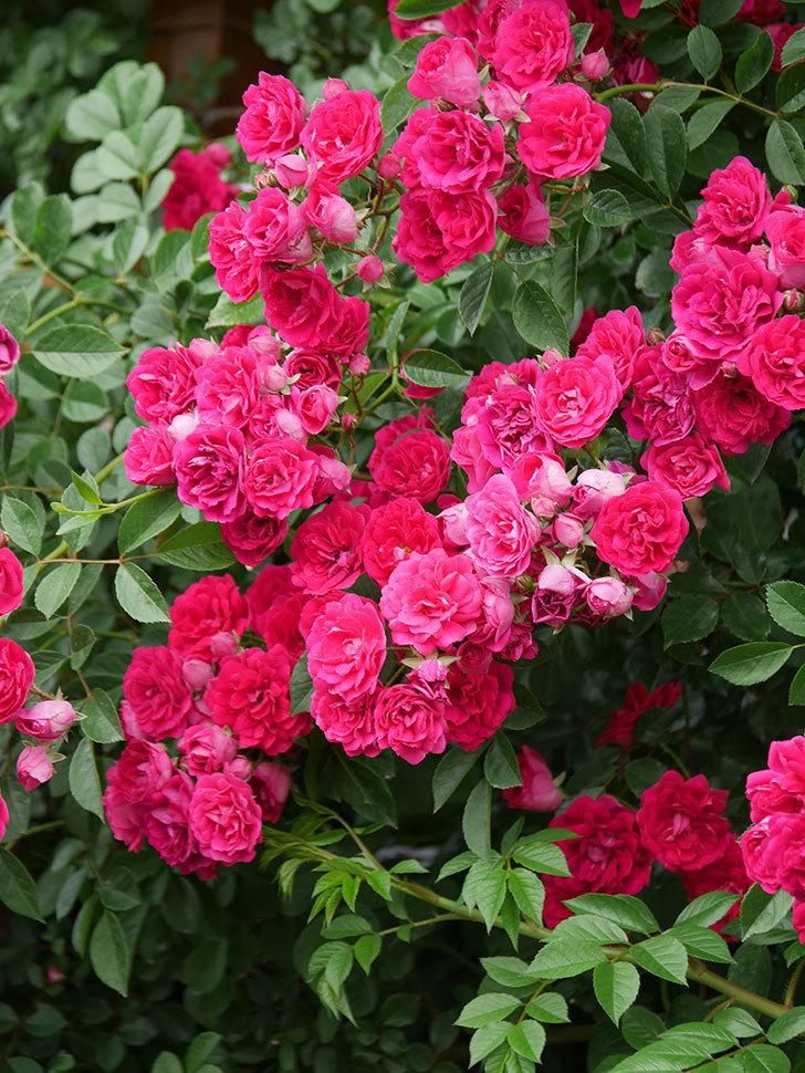 キングローズ(King Rose)の花がたくさん咲いた。ツルバラ。2021年-091.jpg