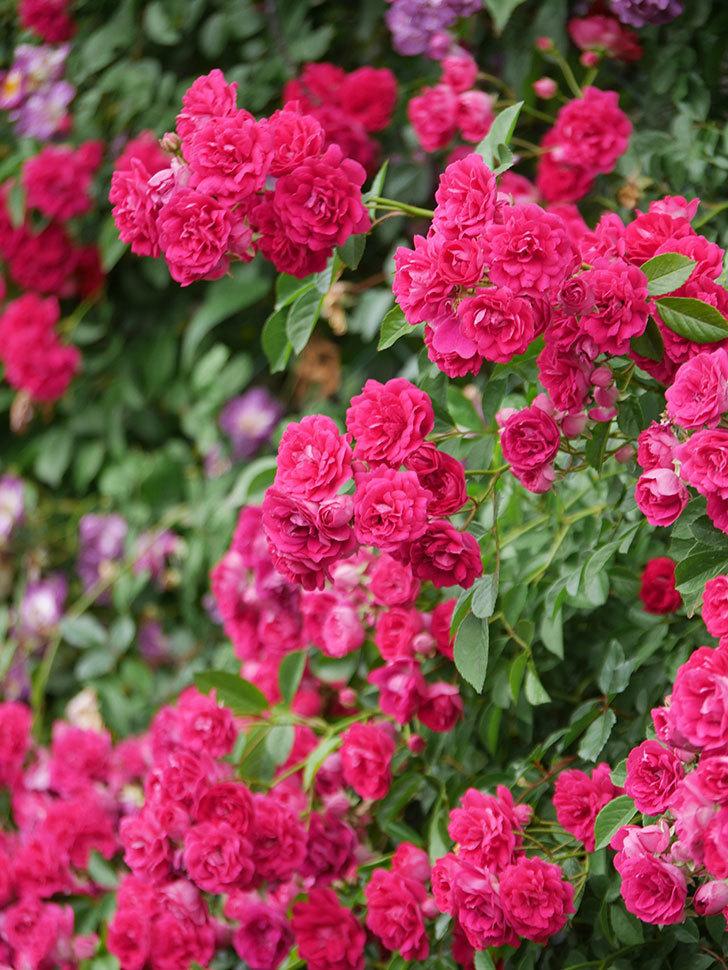 キングローズ(King Rose)の花がたくさん咲いた。ツルバラ。2021年-092.jpg