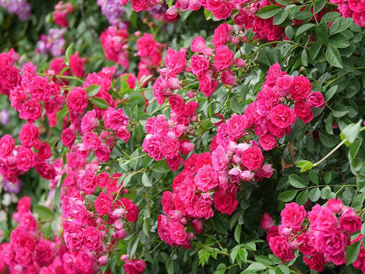 キングローズ(King Rose)の花がたくさん咲いた。ツルバラ。2021年-093.jpg
