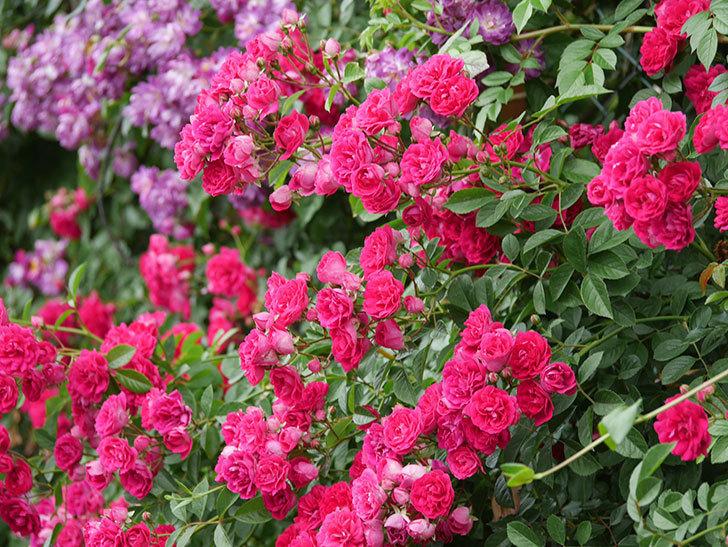 キングローズ(King Rose)の花がたくさん咲いた。ツルバラ。2021年-094.jpg