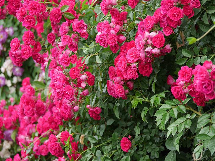 キングローズ(King Rose)の花がたくさん咲いた。ツルバラ。2021年-095.jpg