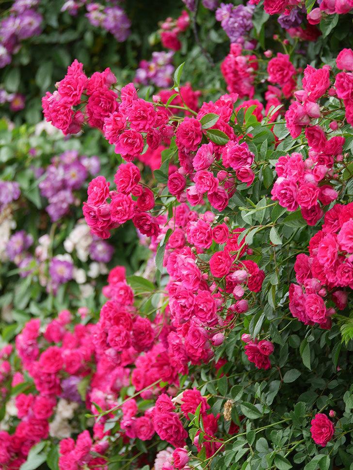 キングローズ(King Rose)の花がたくさん咲いた。ツルバラ。2021年-096.jpg