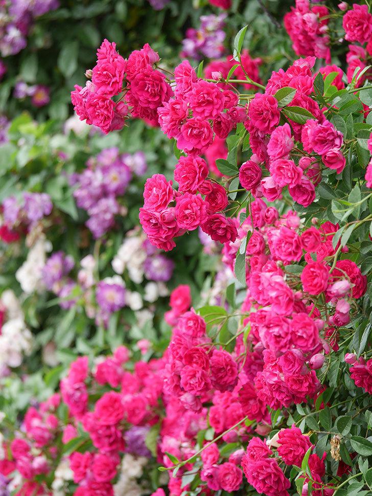 キングローズ(King Rose)の花がたくさん咲いた。ツルバラ。2021年-097.jpg