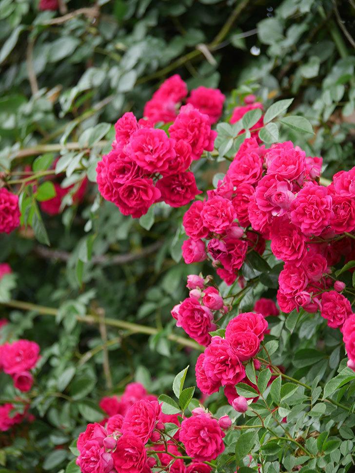 キングローズ(King Rose)の花がたくさん咲いた。ツルバラ。2021年-098.jpg