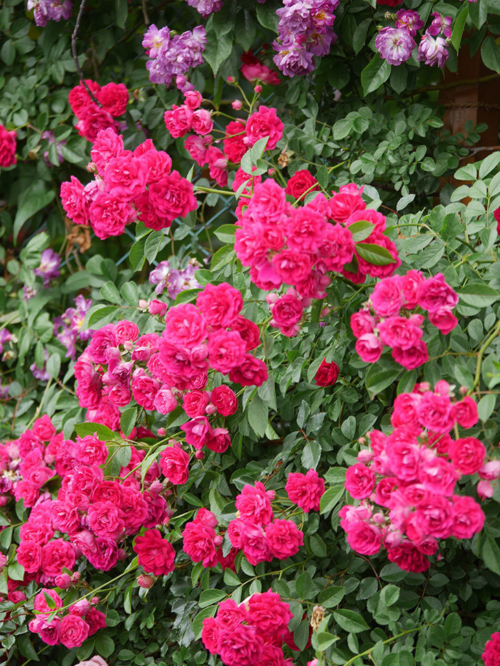 キングローズ(King Rose)の花がたくさん咲いた。ツルバラ。2021年-099.jpg