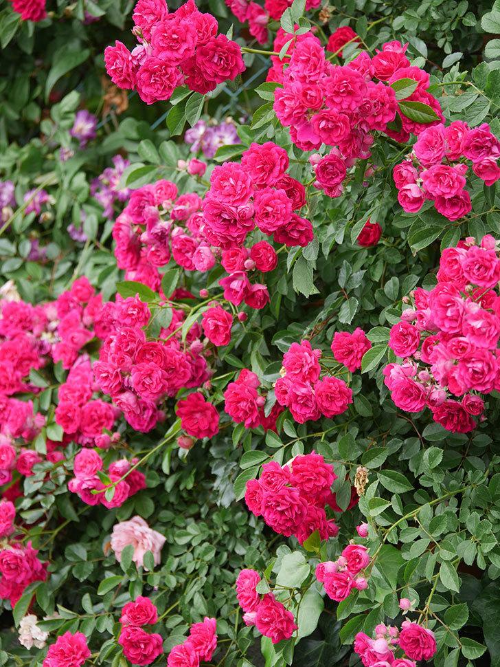 キングローズ(King Rose)の花がたくさん咲いた。ツルバラ。2021年-100.jpg