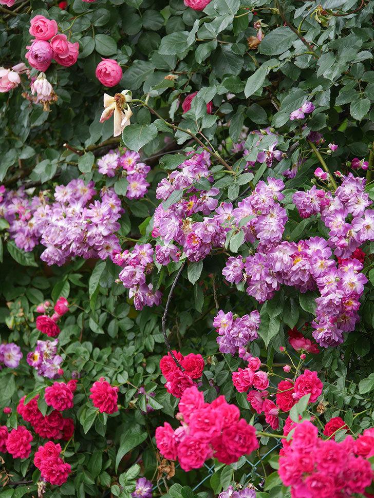 キングローズ(King Rose)の花がたくさん咲いた。ツルバラ。2021年-101.jpg