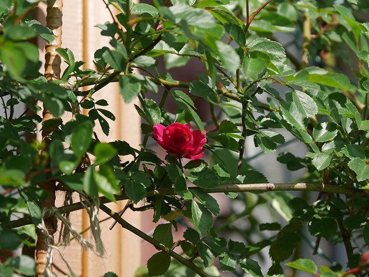 キングローズ(King Rose)の花が咲いた。ツルバラ。2021年-002.jpg