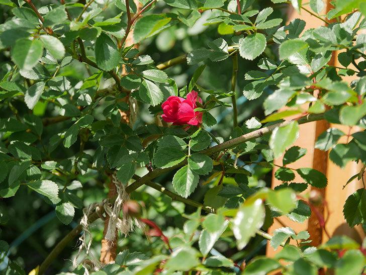 キングローズ(King Rose)の花が咲いた。ツルバラ。2021年-003.jpg