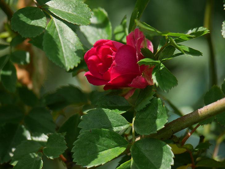 キングローズ(King Rose)の花が咲いた。ツルバラ。2021年-007.jpg