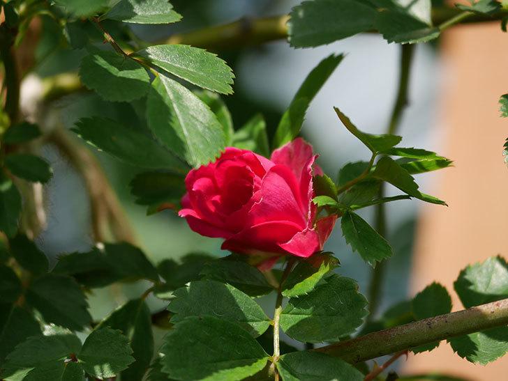 キングローズ(King Rose)の花が咲いた。ツルバラ。2021年-009.jpg