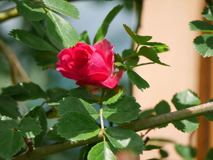 キングローズ(King Rose)の花が咲いた。ツルバラ。2021年-010.jpg