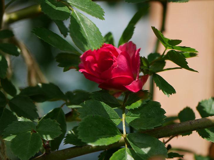 キングローズ(King Rose)の花が咲いた。ツルバラ。2021年-011.jpg