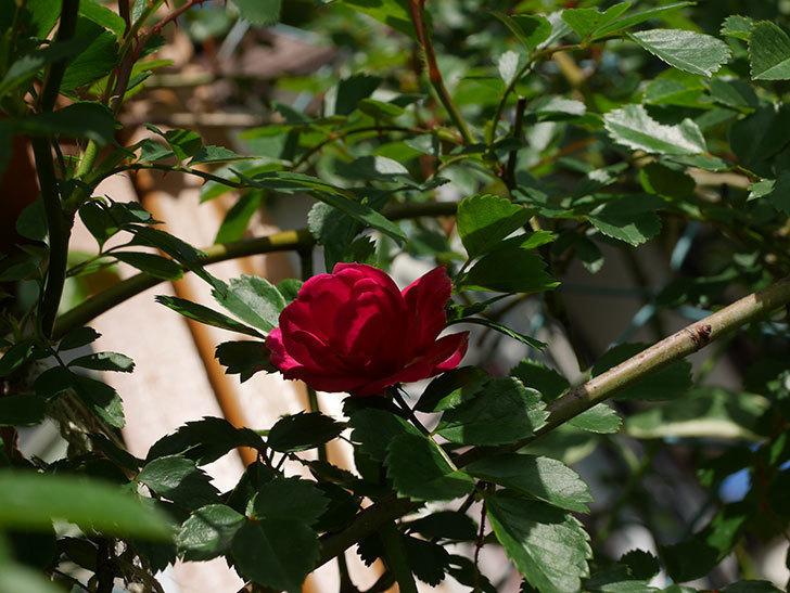 キングローズ(King Rose)の花が咲いた。ツルバラ。2021年-012.jpg