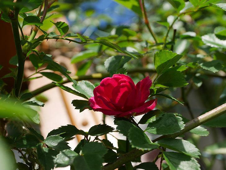 キングローズ(King Rose)の花が咲いた。ツルバラ。2021年-013.jpg