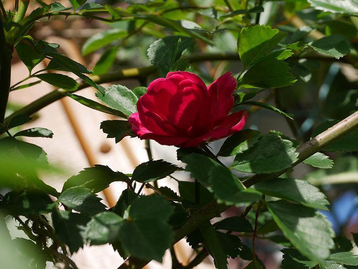 キングローズ(King Rose)の花が咲いた。ツルバラ。2021年-014.jpg