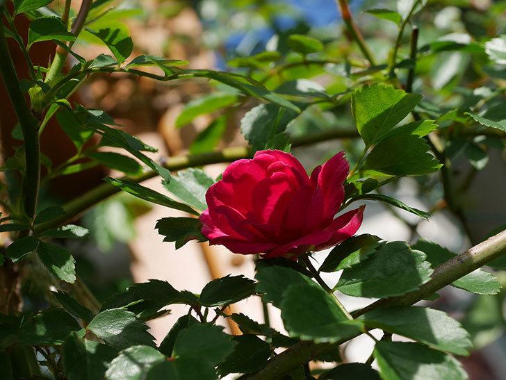 キングローズ(King Rose)の花が咲いた。ツルバラ。2021年-015.jpg