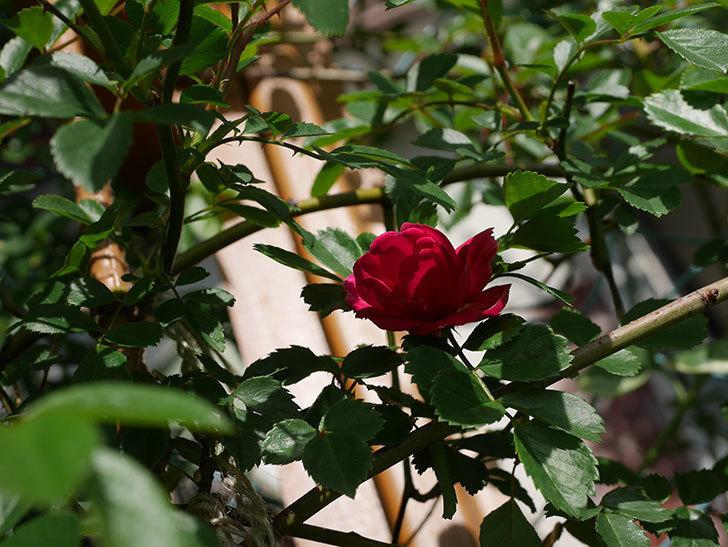 キングローズ(King Rose)の花が咲いた。ツルバラ。2021年-017.jpg