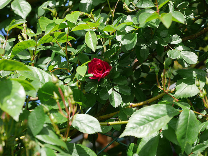 キングローズ(King Rose)の花が咲いた。ツルバラ。2021年-018.jpg