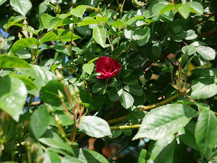 キングローズ(King Rose)の花が咲いた。ツルバラ。2021年-019.jpg