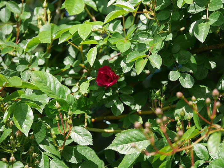 キングローズ(King Rose)の花が咲いた。ツルバラ。2021年-020.jpg