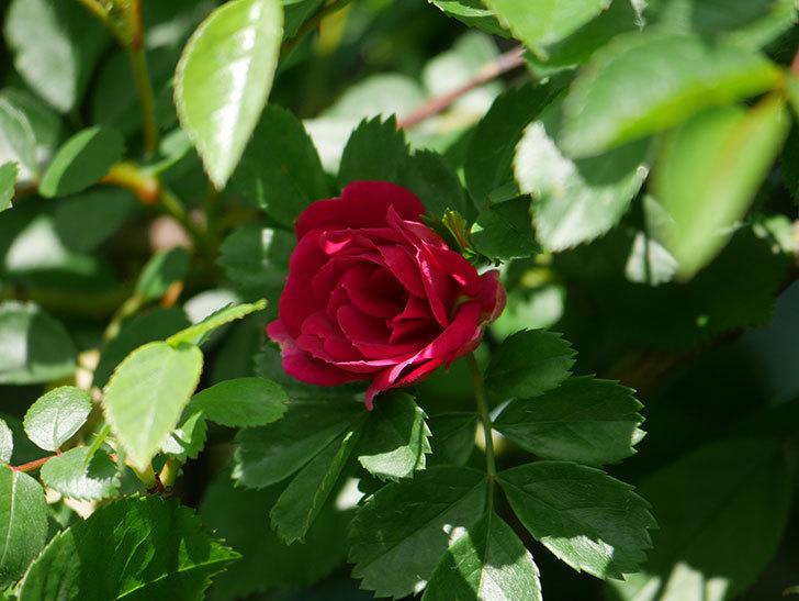キングローズ(King Rose)の花が咲いた。ツルバラ。2021年-021.jpg