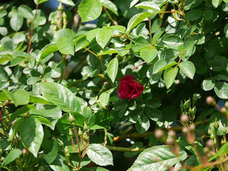 キングローズ(King Rose)の花が咲いた。ツルバラ。2021年-022.jpg