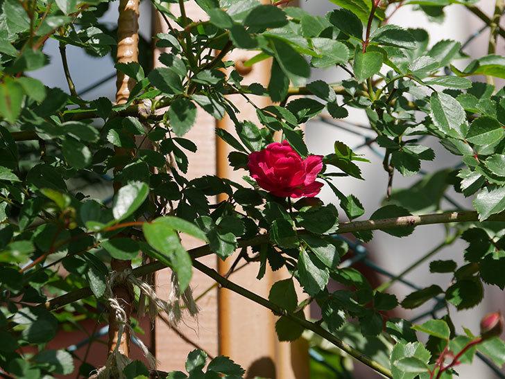 キングローズ(King Rose)の花が咲いた。ツルバラ。2021年-023.jpg