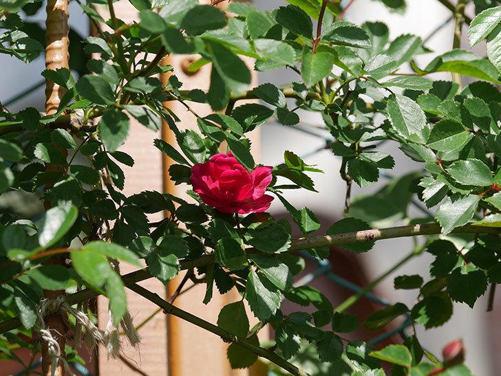 キングローズ(King Rose)の花が咲いた。ツルバラ。2021年-024.jpg