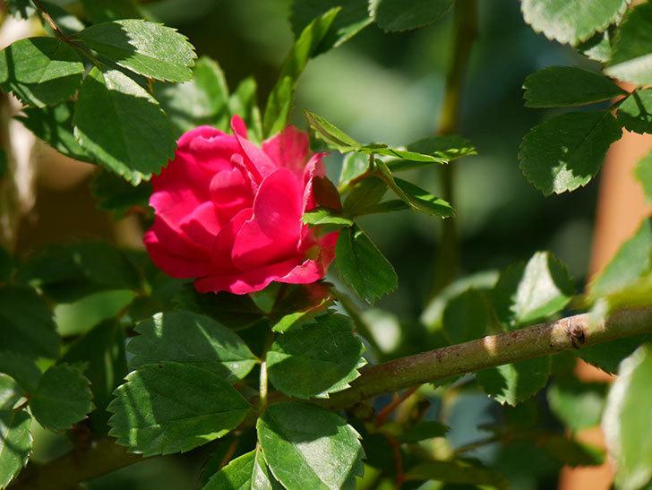 キングローズ(King Rose)の花が咲いた。ツルバラ。2021年-027.jpg