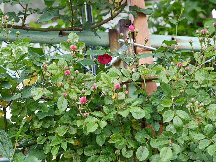 キングローズ(ツルバラ)が咲きだした。2017年-3.jpg
