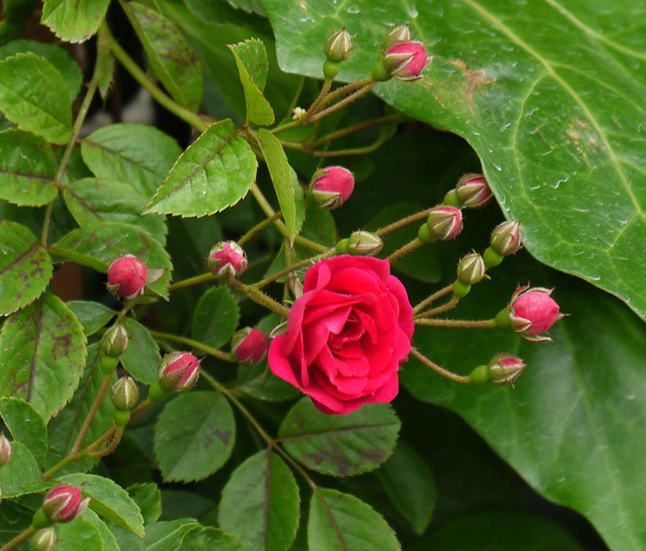 キングローズ(ツルバラ)が咲きだした。2017年-4.jpg