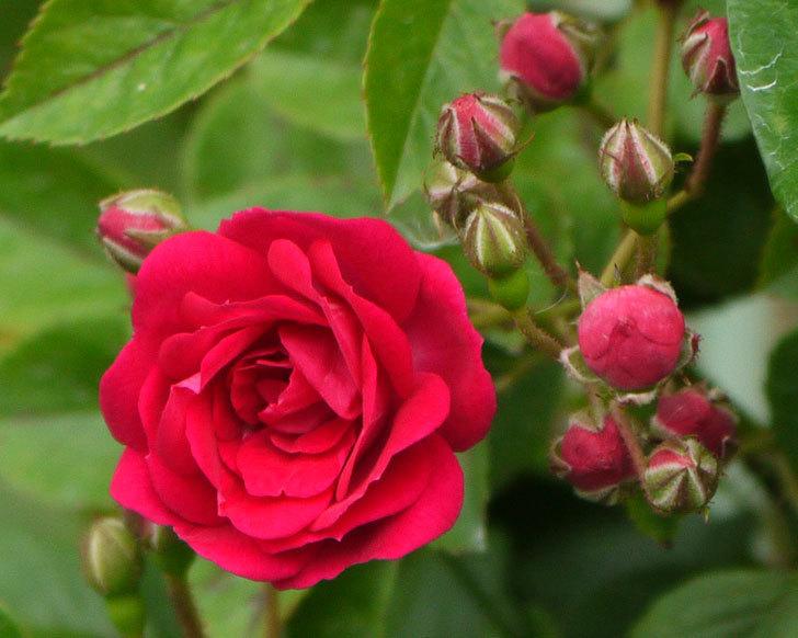 キングローズ(ツルバラ)が咲きだした。2017年-5.jpg