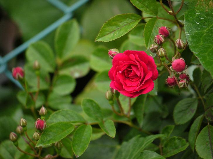 キングローズ(ツルバラ)が咲きだした。2017年-7.jpg