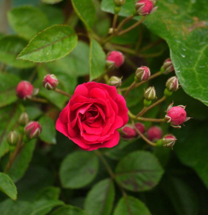 キングローズ(ツルバラ)が咲きだした。2017年-8.jpg