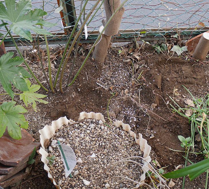 キングローズ(ツルバラ)に寒肥を施した。2019年-3.jpg