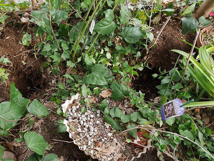 キングローズ(ツルバラ)に穴を掘って寒肥をやった。2018年-1.jpg
