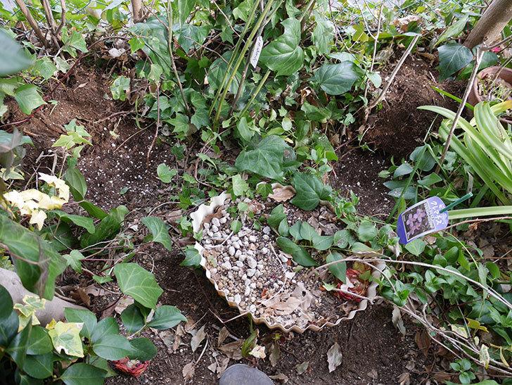 キングローズ(ツルバラ)に穴を掘って寒肥をやった。2018年-14.jpg