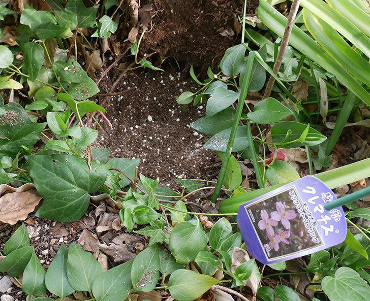 キングローズ(ツルバラ)に穴を掘って寒肥をやった。2018年-16.jpg