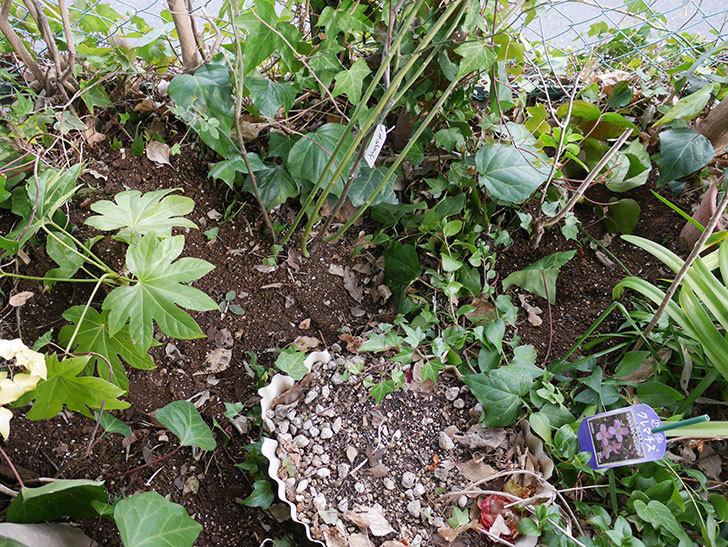 キングローズ(ツルバラ)に穴を掘って寒肥をやった。2018年-18.jpg