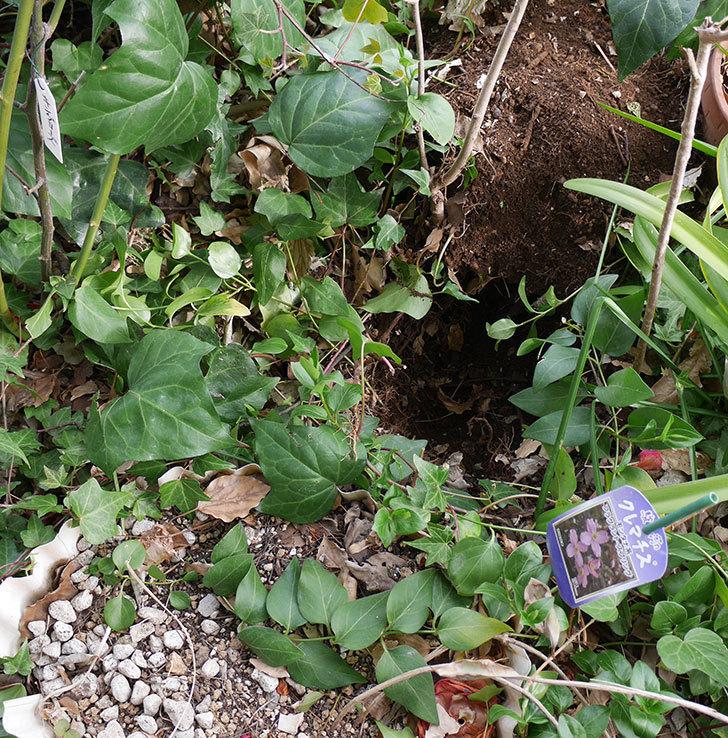 キングローズ(ツルバラ)に穴を掘って寒肥をやった。2018年-4.jpg