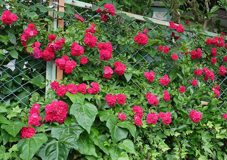 キングローズ(ツルバラ)の花がたくさん咲いた。2017年-2.jpg