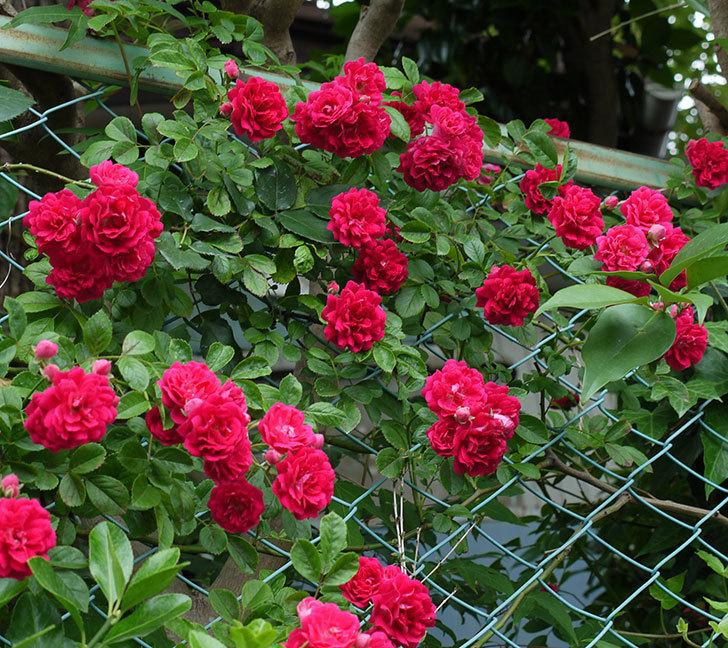 キングローズ(ツルバラ)の花がたくさん咲いた。2017年-9.jpg