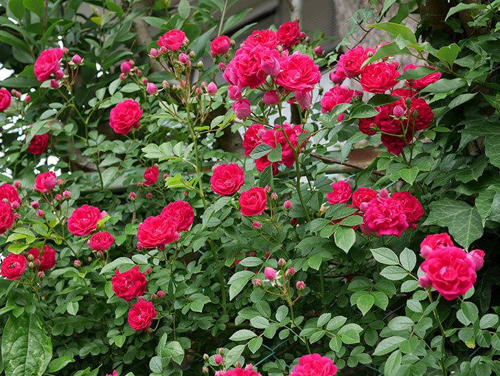 キングローズ(ツルバラ)の花がたくさん咲いた。2018年-1.jpg