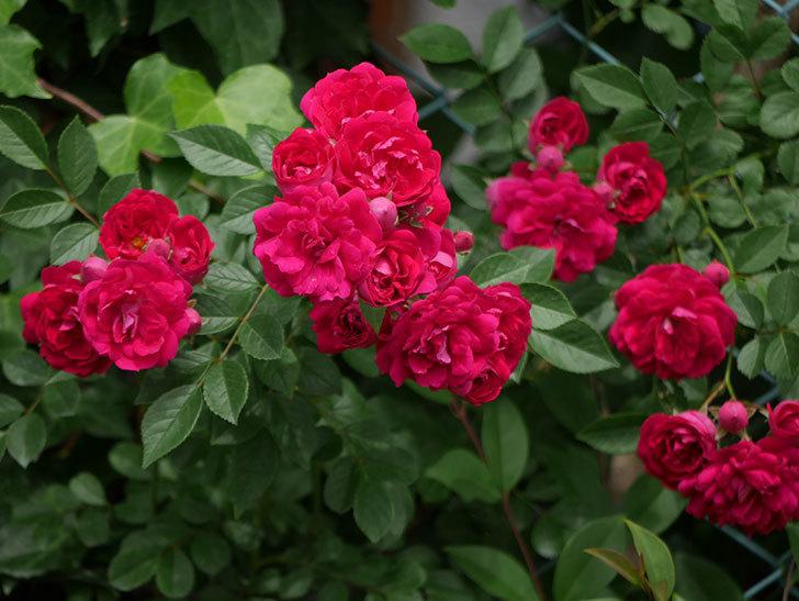 キングローズ(ツルバラ)の花がたくさん咲いた。2018年-16.jpg