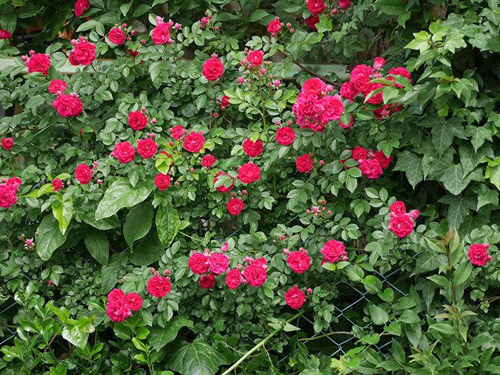 キングローズ(ツルバラ)の花がたくさん咲いた。2018年-19.jpg