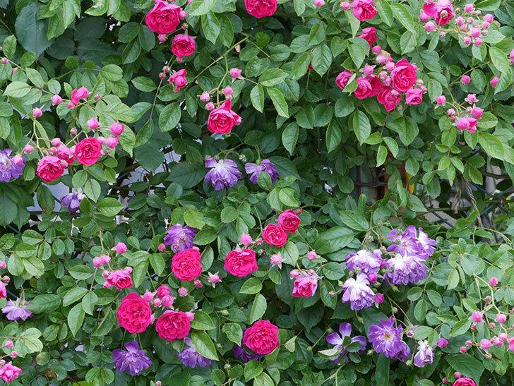 キングローズ(ツルバラ)の花がたくさん咲いた。2019年-1.jpg